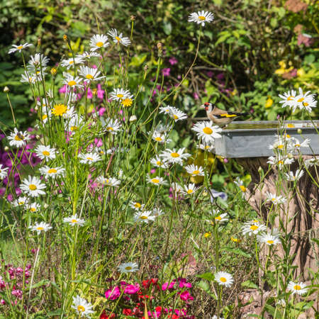 A goldfinch admires the flowers in an English country garden  photo