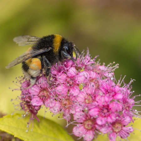 A bee forages for pollen within the spirea blooms  Stock Photo