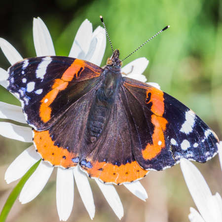 soaks: A red admiral butterfly soaks up the sunshine