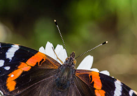 admiral: A red admiral butterfly enjoys the sunshine