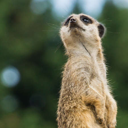 A meerkat on the lookout for danger  photo