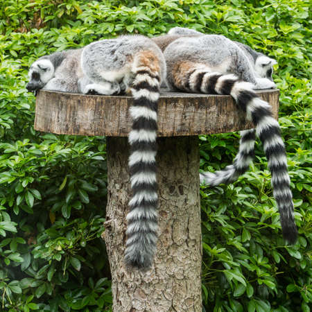 A group of ring tailed lemurs take a nap  photo