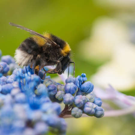 bracts: A bee forages amongst the hydrangea bracts
