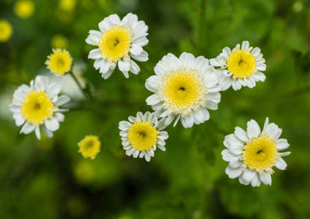 A collection of feverfew flowers  Imagens