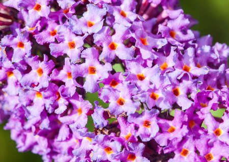 A close-up of the tiny blooms of a buddleia bush  photo