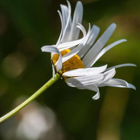 ox eye: An ox eye daisy catches some sunlight