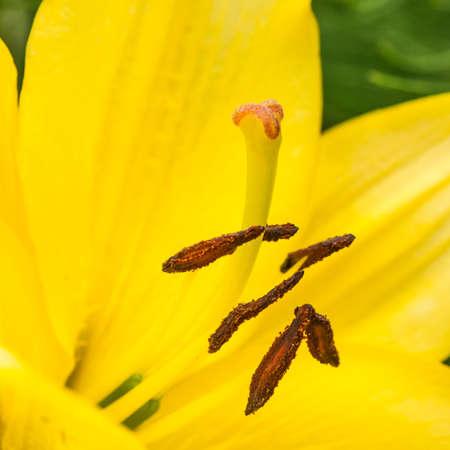 stigmate: Un gros plan de la stigmatisation et les �tamines d'un jaune lys oriental