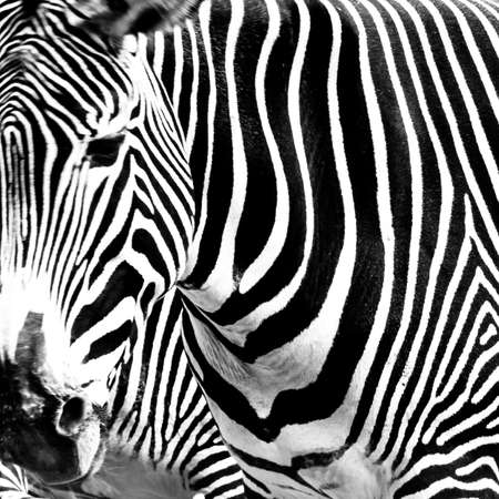 A close-up crop of a zebra  photo