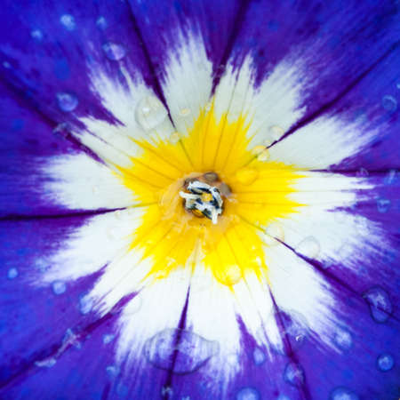 A macro shot of a wet morning glory bloom  photo