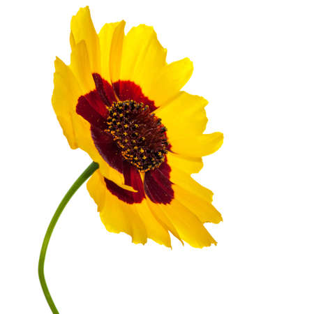 A close-up shot of a yellow wildflower isolated against a white background  photo