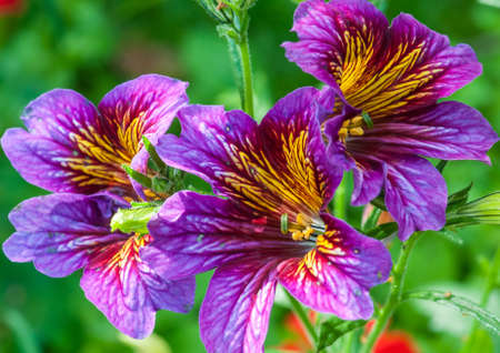 A trio of multicoloured salpiglossis blooms  Imagens