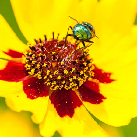 rear end: The rear end of a fly sitting on a yellow wildflower