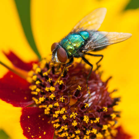 Bir yeşil sinek sarı kır çiçeği ortasına oturur
