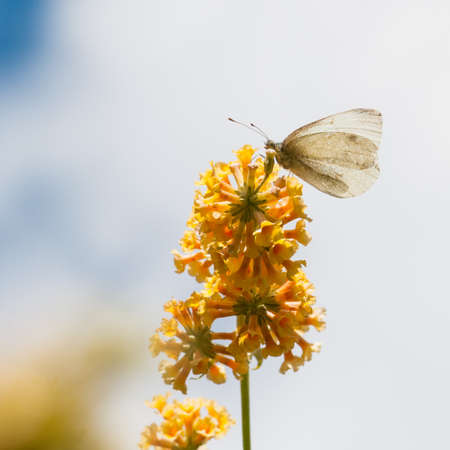 A large white butterfly sits on the yellow blooms of a butterfly bush  photo