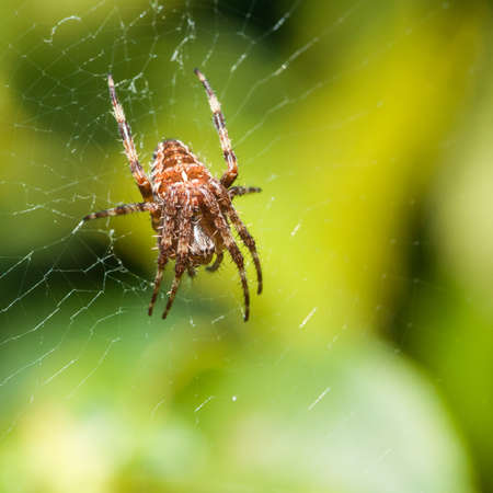 orb weaver: A female orb weaver spider sits in her lair