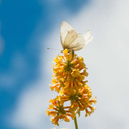 A large white butterfly sits on the yellow blooms of a butterfly bush Stock Photo - 15100980