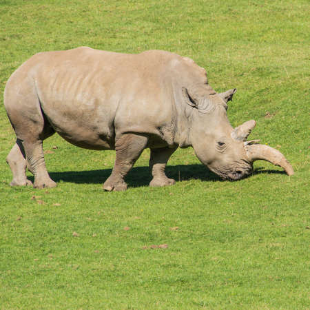 A white rhino grazes in a field  photo