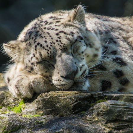 snoozing: A snow leopard has a bit of a snooze  Stock Photo