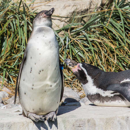 admirer: A portrait of a humboldt penguin and his admirer