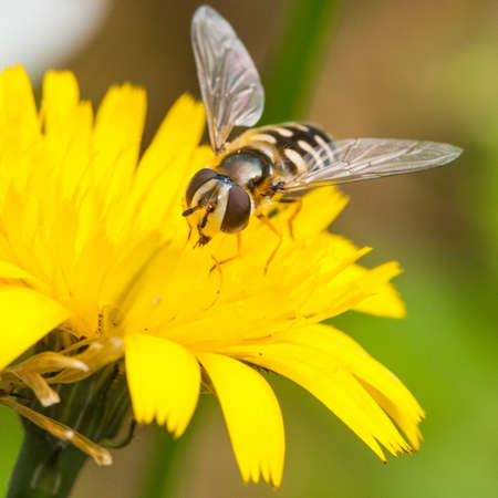 A hoverfly collects pollen from a yellow wildflower