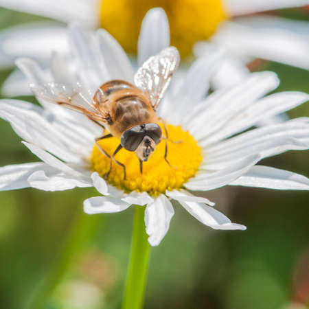 A hoverfly sits atop an ox eye daisy  photo