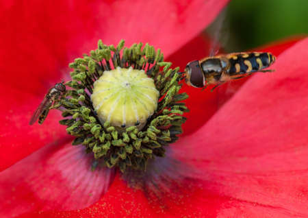 Two insects share a poppy for pollen collection  photo