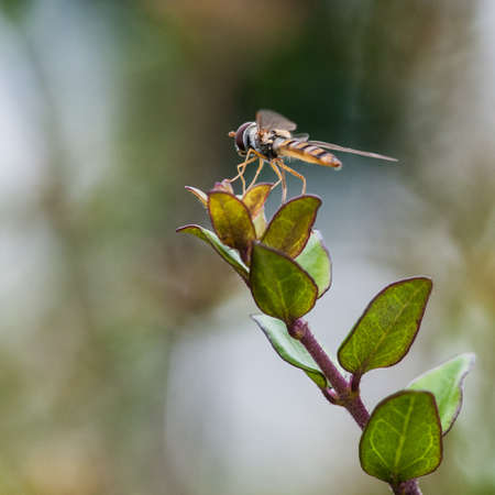 A hoverfly sits atop a green leaf  photo