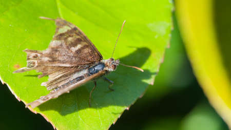speckled wood: A battered looking speckled wood butterfly sits on a green leaf  Stock Photo