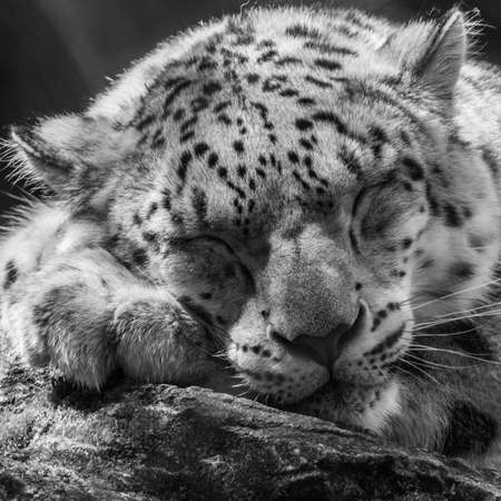 A snow leopard has a bit of a snooze  photo