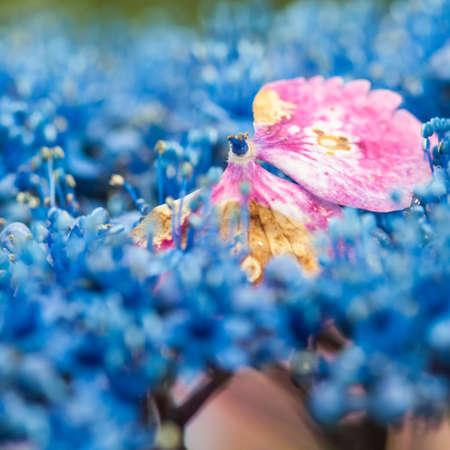 settles: A pink hydrangea bract settles amongst a sea of blue hydrangeas