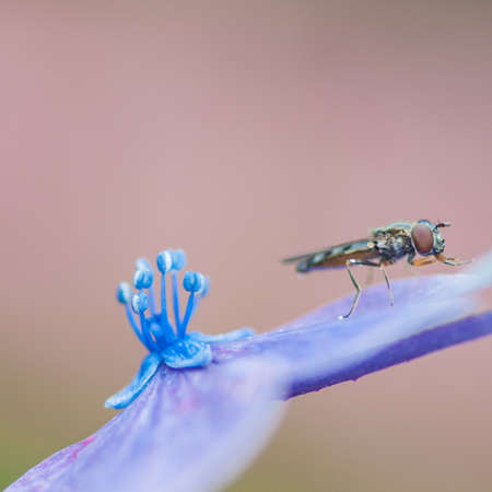 A hoverfly sits on a hydrangea petal  photo