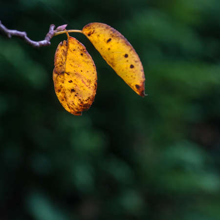 onslaught: Two leaves surrendering to the onslaught of autumn