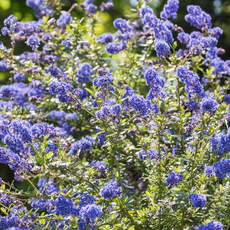 Bir california leylak bush güzel mavi çiçekler