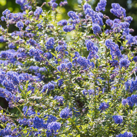 The lovely blue flowers of a california lilac bush
