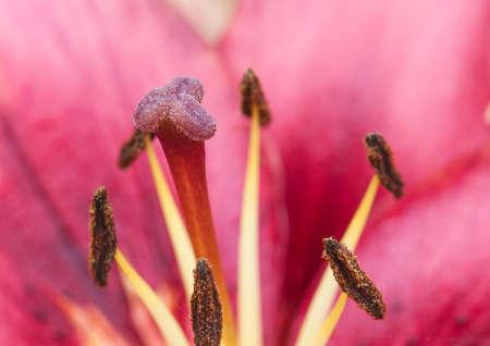 stigmate: En regardant l'opprobre et �tamine d'une fleur de lys rouge oriental