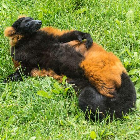 snoozing: A red ruff lemur has a quick kip