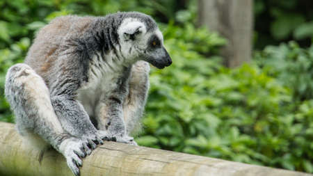 A ring tailed lemur sits on a fence  photo