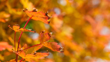A close-up of some golden autumn leaves  photo