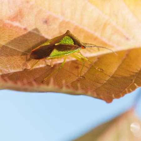 shield bug: A close-up of a shield bug sitting on a cherry tree leaf