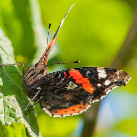 vanessa: A macro shot of red admiral sitting on a green leaf