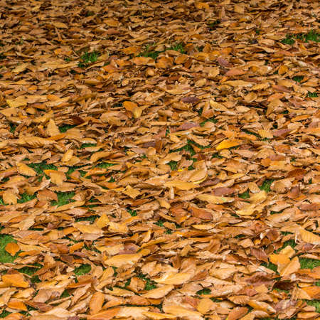 exbury: A multitude of golden leaves that have already fallen to the forest floor  Stock Photo