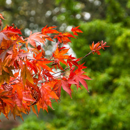 Autumn effected leaves against an evergreen tree  Stock Photo