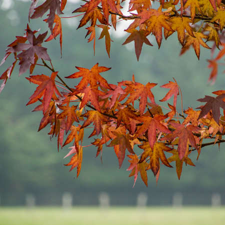 exbury: A close-up of the beautiful leaves of an acer tree