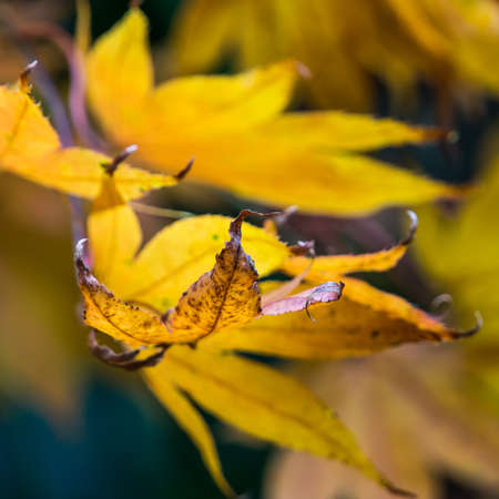 A close-up of autumn leaves reaching out of the frame  Stock Photo