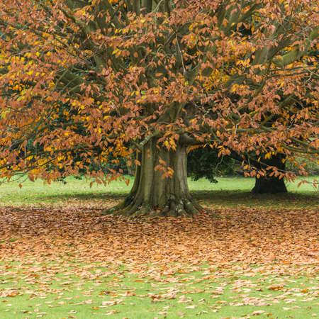exbury: An autumn leaved coloured tree sheds its leaf load onto a lawn