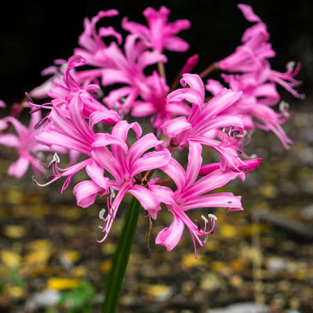 A small collection of pink nerine blooms