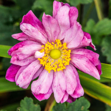 A close-up of a pink coloured Japanese anemone  Stock Photo