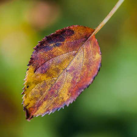 autumn colour: Variations in colour of an autumn leaf