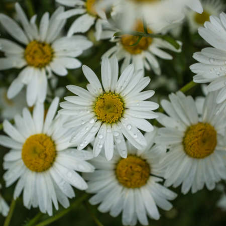 ox eye: A collection of ox eye daisies  Stock Photo