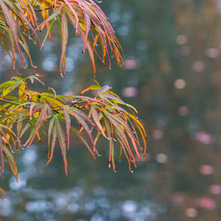 exbury: The leaves of an acer tree reach out over a pond